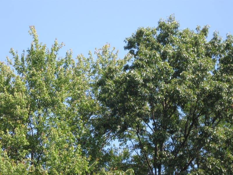Acer_rubrum_Quercus_velutina_ConcordMASep52009Lowres