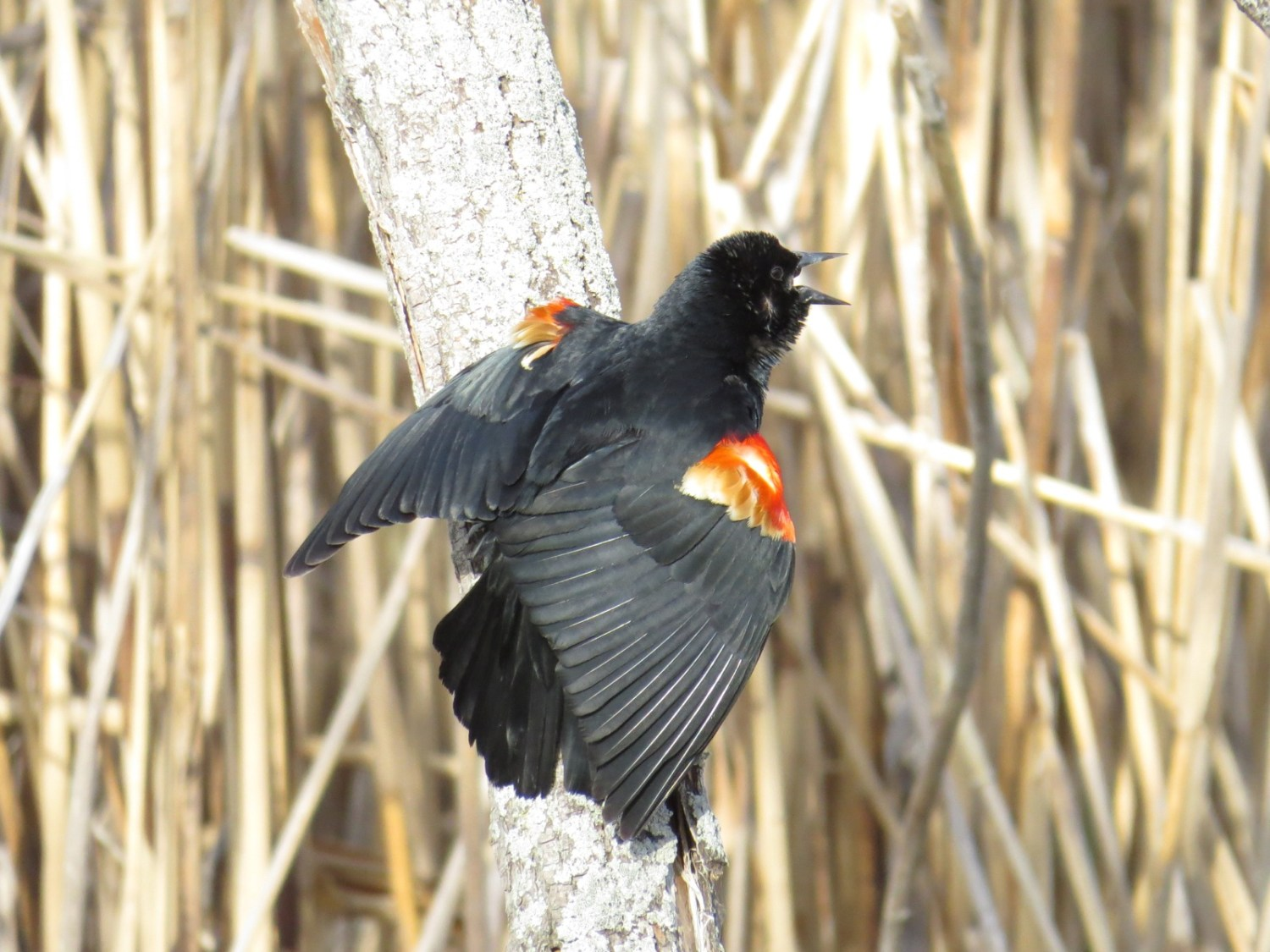 """Male Red-winged Blackbird singing and facing away, so that we see the bright red feathers of the shoulders """"edge-on"""" and can see to their whitish base."""