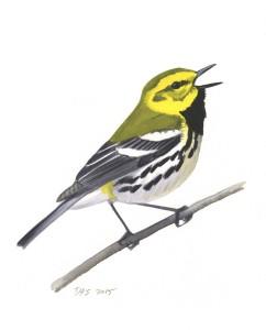 Black-throated Green Warbler_20160401_web