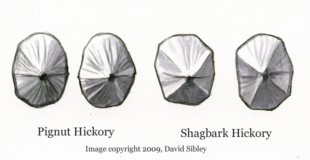 Nuts viewed end-on; Pignut Hickory (two on left) and Shagbark Hickory (two on right). Image copyright David Sibley.