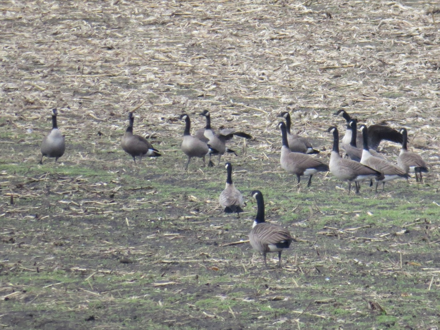 Canada Goose (front) and Cackling Goose (second from front), with a mix of intermediate birds beyond. Acton, MA, 7 Nov 2014. Photo copyright David Sibley