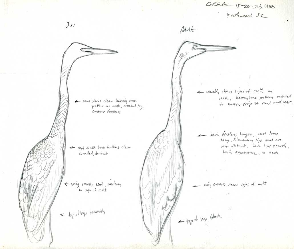Determining the age of white egrets and herons in late