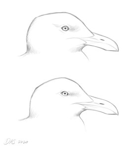 sketch of gull head shapes
