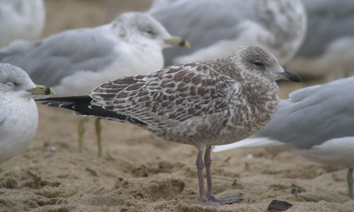 This is a very dark and fresh-looking juvenile, with mostly dark bill, much as one would expect in late summer. Photo copyright David Sibley.