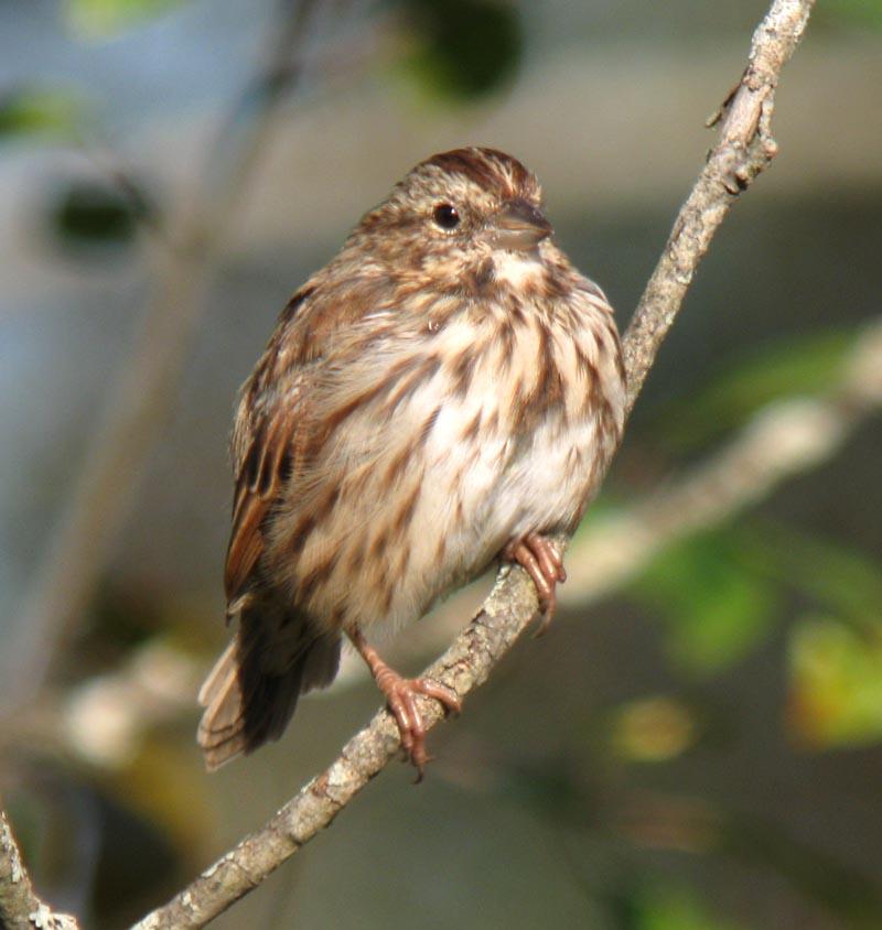 Eastern Sparrow Gallery