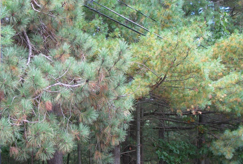 Red Pine (left) and Eastern White Pine (right). October 2009, Concord, MA. Photo copyright David Sibley.
