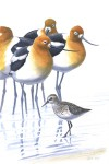 Avocets and Semipalmated Sandpiper