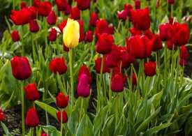 La solidarietà dei tulipani