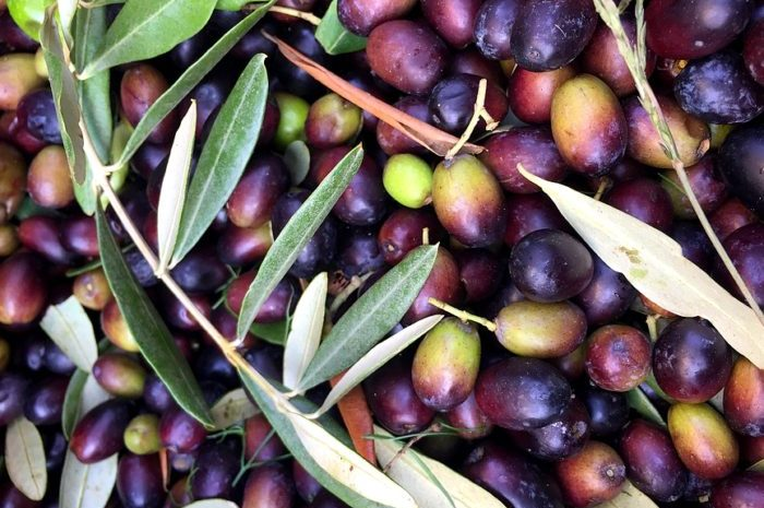 Freshly harvested olives, ready for crushing