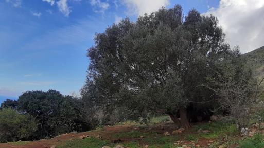 olivastri1