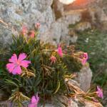 Passeggiando sotto le rupi: la Dianthus rupicola