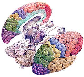 Algunas consecuencias cognitivas del dimorfismo sexual (3/3)