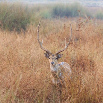 Chital in the Grass (Tadoba national park)