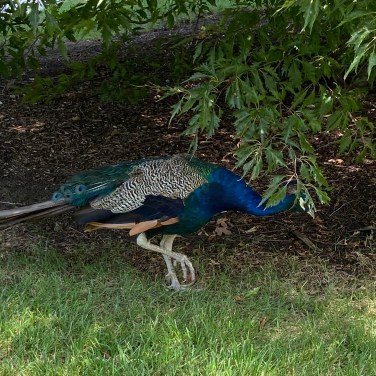 Visitors often come across one of the peacocks that roam the grounds.