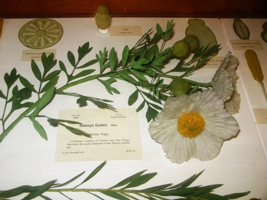 Harvard Natural History Museum Glass Flowers, Poppy