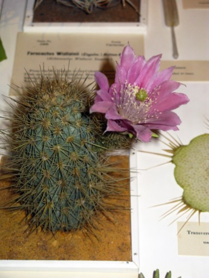 Harvard Natural History Museum Glass Flowers, Cactus with Blossom