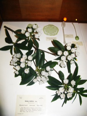 Harvard Natural History Museum Glass Flowers, Calico Bush
