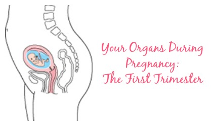 organs during first trimester pregnancy