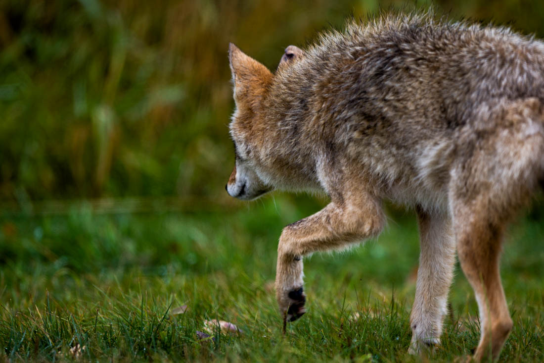 A young coyote (canis latrans) look for food during an autumn morning. He shows signs of recent battle, true to his wild nature