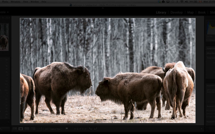 Screen capture of my Lightroom 5 workflow-plains bison.