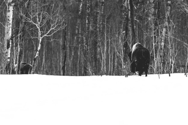 Plains bison (extirpated specie, bison bison bison) cows quietly makes their way through the snow, looking for food at Elk Island.