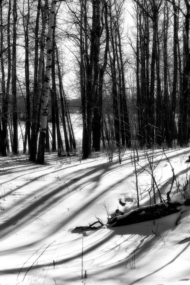 Winter mornings with deep shadowing on the sparkling snow over the Bison Loop at Elk Island National Park, Alberta black and white landscape.