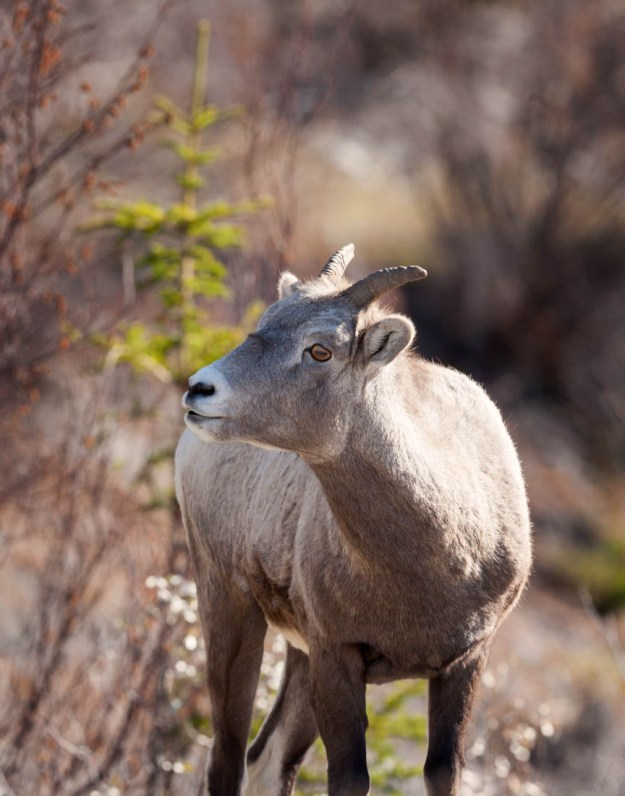 Bighorn Sheep (Ovis canadensis) ewe during a mid-autumn afternoon in Jasper National Park, Alberta wildlife.