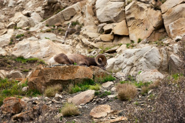 Sleeping bighorn sheep ram on the rocky mountain terrain at Jasper National Park during an early autumn afternoon