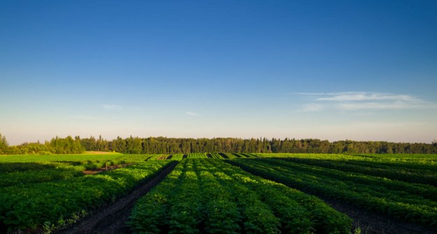 Potato crops growing on the Alberta farmland in Parkland County during an early summer morning, Alberta agriculture.