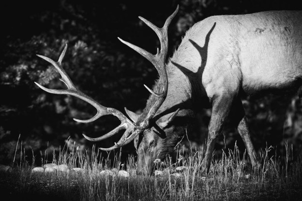 Large bull elk (cervus elaphus, wapiti) quietly eats food during the strong, early autumn morning light in the Canadian Rockies, Alberta black and white wildlife.