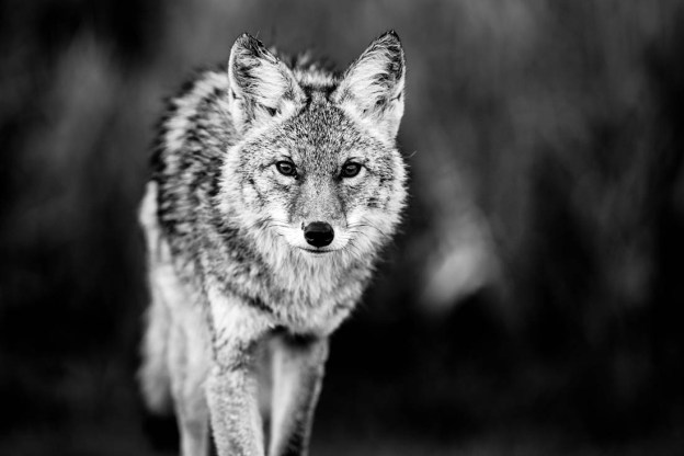 A young coyote (canis latrans) strolling during an autumn morning. He shows signs of recent battle, true to his wild nature, Alberta black and white wildlife.