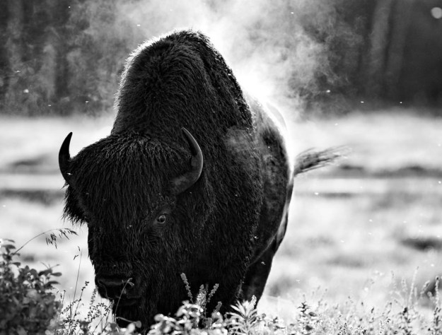 A black and white muddy and wet large Plains bison bull (bison bison bison) holds his ground after wallowing and kicking up a dust storm after his post sparring match with other bulls during the rutting season at Elk Island National Park, Alberta wildlife behavioural portrait.