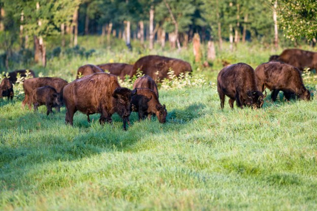 Plains bison herd (bison bison bison) graze on park grasslands during an early summer morning at Elk Island National Park.