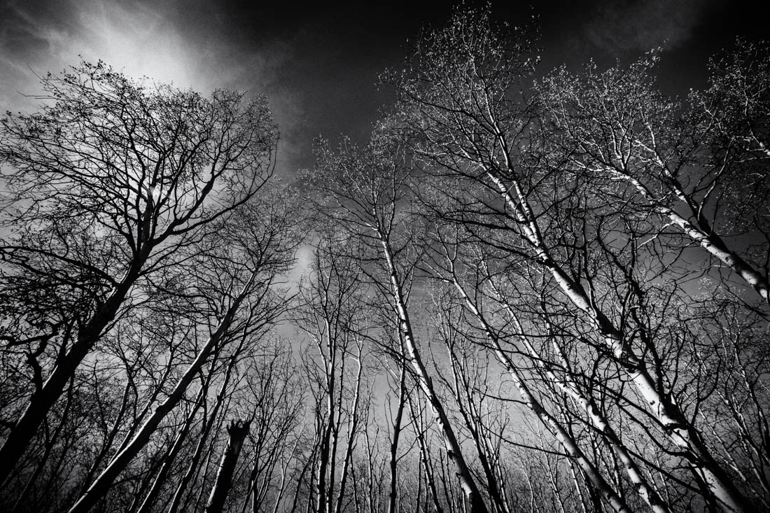Film noir bw Alberta landscape of white birch trees in Jasper National Park.