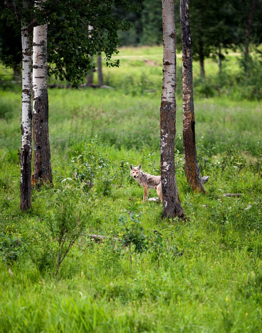 A young coyote (canis latrans) strolls through the deep vegetation at Elk Island National Park, widlife habitat.