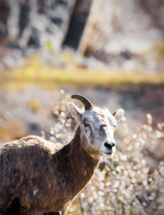 Bighorn Sheep ewe with one horn missing looks coyly during a spring afternoon in the Canadian Rockies, Alberta wildlife.