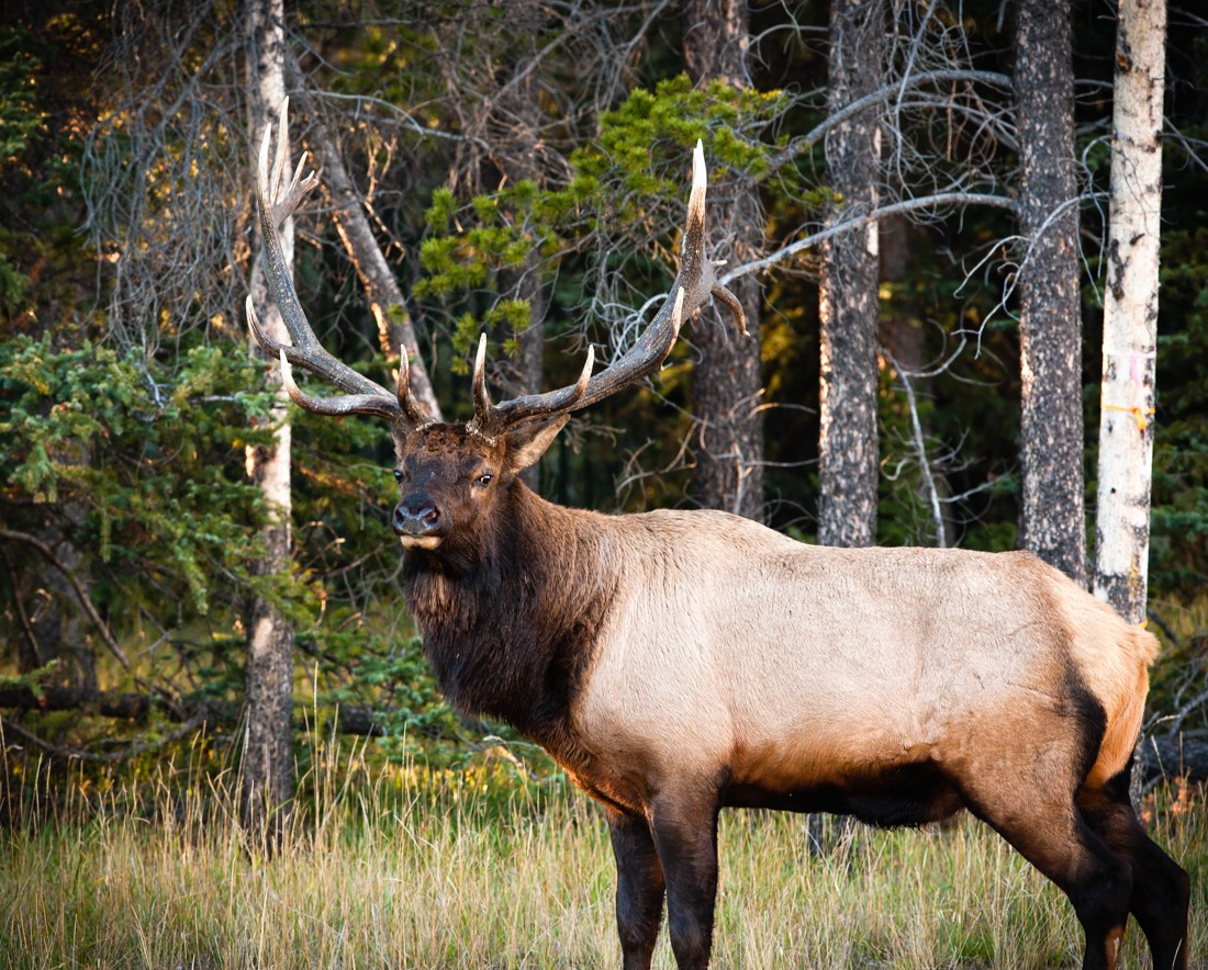 Alberta wildlife, large bull elk (wapiti, Cervus canadensis, Alberta wildlife), with fully developed antlers, which are camouflaged against the trees in the background, during the annual elk rut in Jasper National Park.