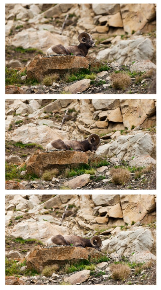 Alberta wildlife, Ovis canadensis, Bighorn sheep ram tries to sleep whilst resting on a large rock up on a mountain. Canadian Rockies wildlife environmental portrait.