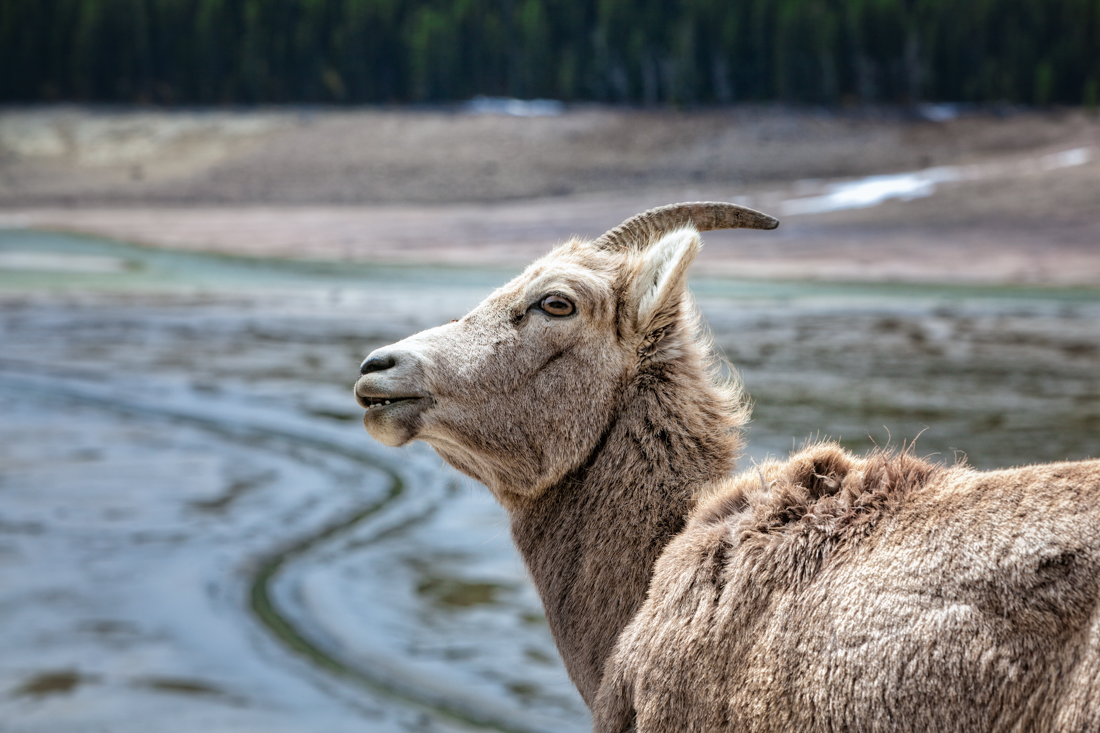 Alberta wildlife, Bighorn sheep ewe (Ovis canadensis) with curious stance as she has the geological wonder of Medicine Lake in the background, Jasper National Park, wildlife environmental portrait. Copy space horizontal.