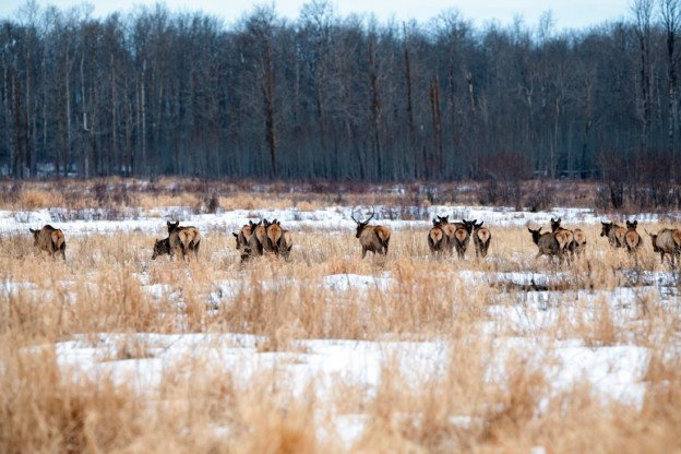 Alberta wildlife, herd of elk ( Cervus elaphus, Cervus canadensis) during a mid-winter's dawn in the snowy meadow at Elk Island National Park.