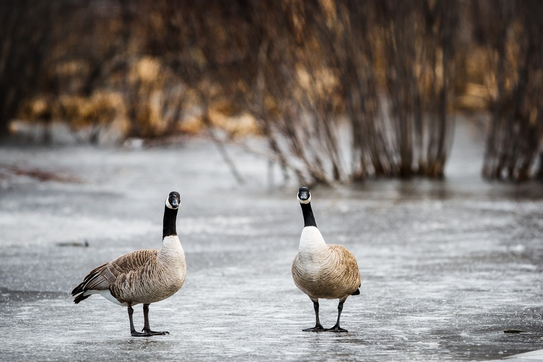 Canadian geese, Branta canadensis, survey the area after a change in weather, at Elk Island National Park. Sidney Blake Photography. No. 2002