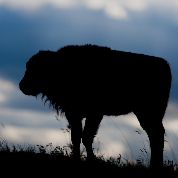 Captive plains bison in the Bison Paddock at Waterton Lakes National Park during later summer, silhouette.