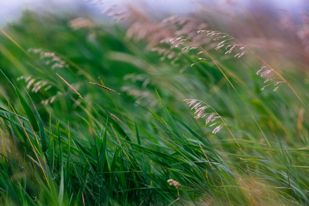 Tall grasses gently blowing in the warm wind during a summer morning, Alberta landscape.
