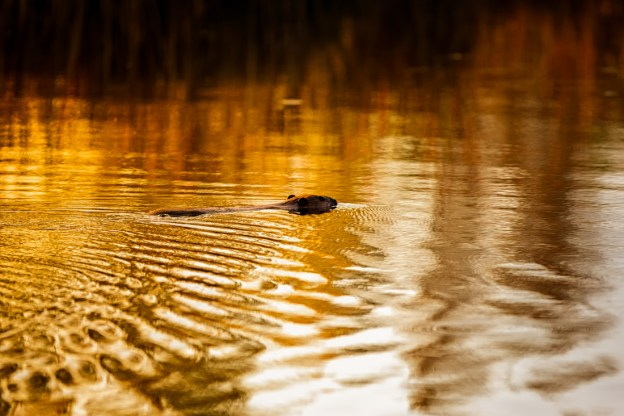 North American beaver (Castor canadensis) swims to gather materials to construct its lodge during an early autumn morning, Alberta wildlife.