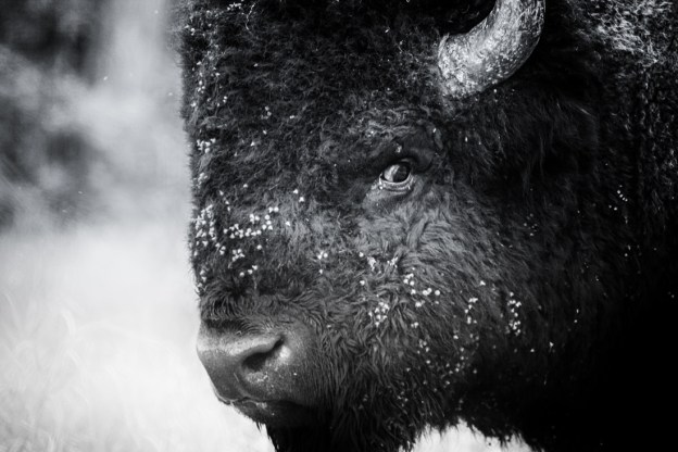 Plains bison bull (bison bison bison) close-up during the annual bison rut, Alberta black and white wildlife portrait, plains bison conservation herd.