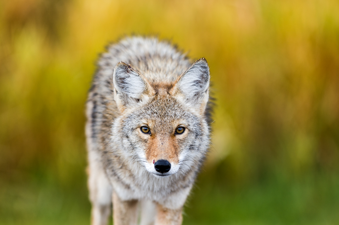 A young coyote (canis latrans) strolls through Elk Island National Park in Alberta, Canada during autumn, 2012. He shows signs of recent battle, true to his wild nature.