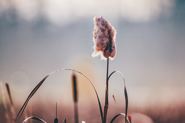 Cattail cotton plant standing tall in the wetlands at Elk Island National Park during an autumn sunrise, Alberta landscape.
