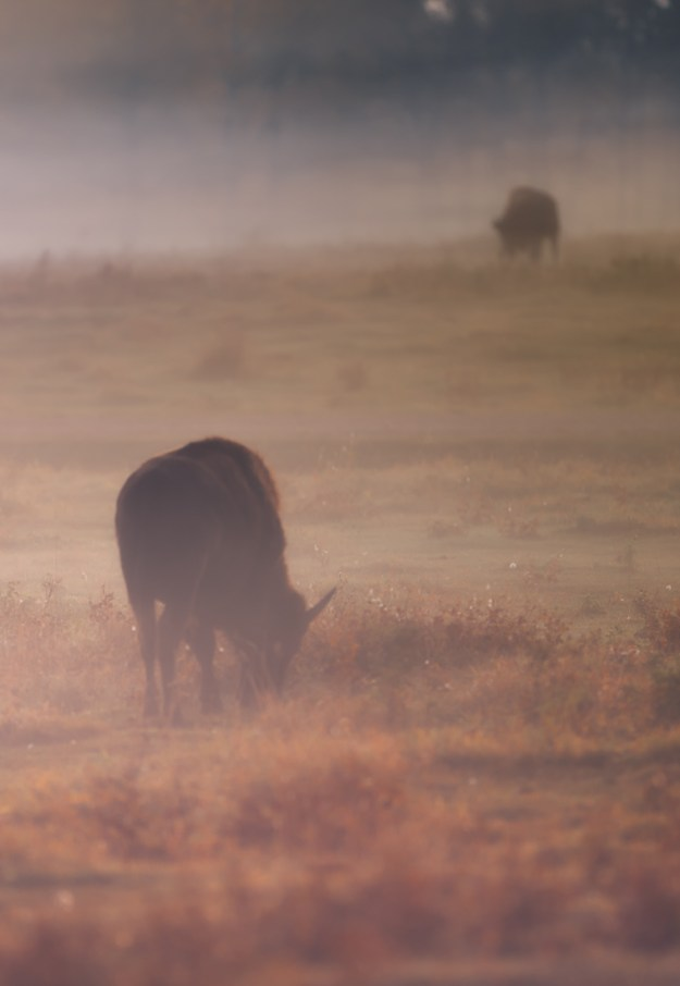 Plains bison cows (bison bison bison) graze during a foggy sunrise on the bison loop at Elk Island National Park during an early autumn sunrise. Alberta wildlife