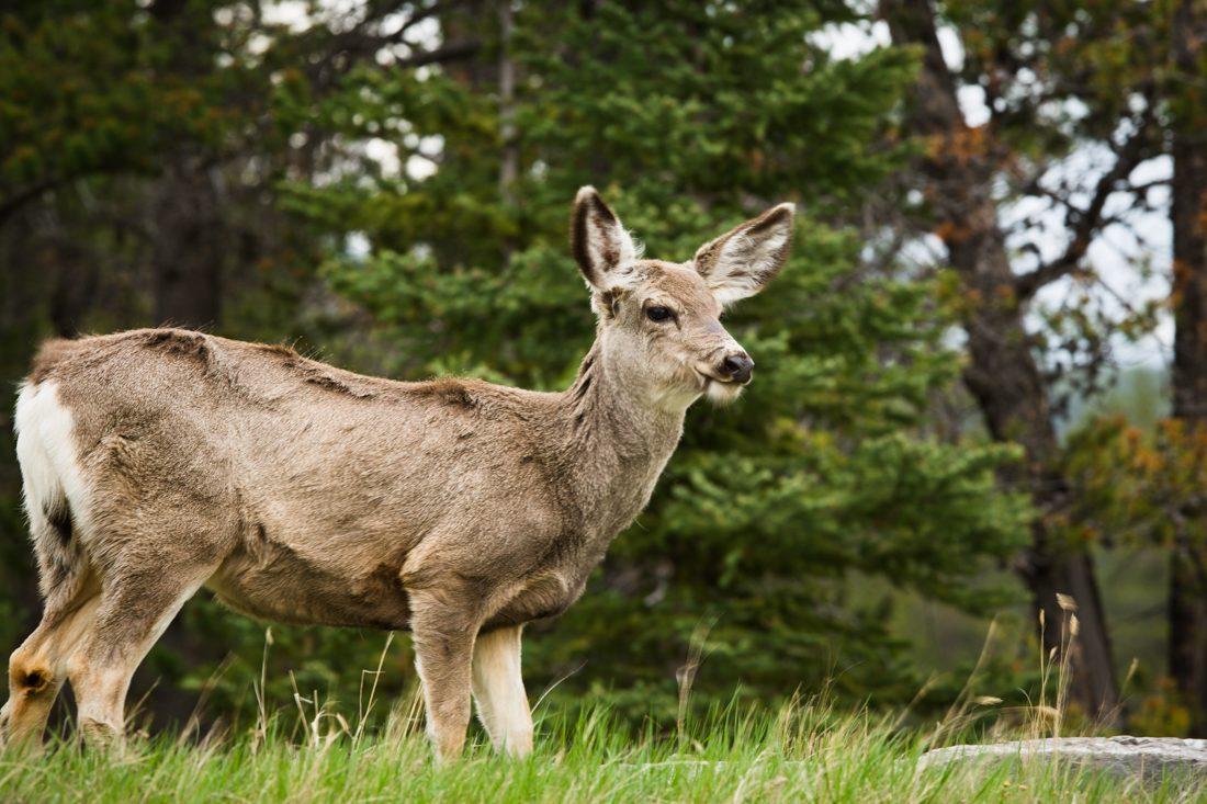 Mule deer doe ( Odocoileus hemionus) is chewing grass in the woods during a spring evening at Jasper National Park, Alberta wildlife environmental portrait.