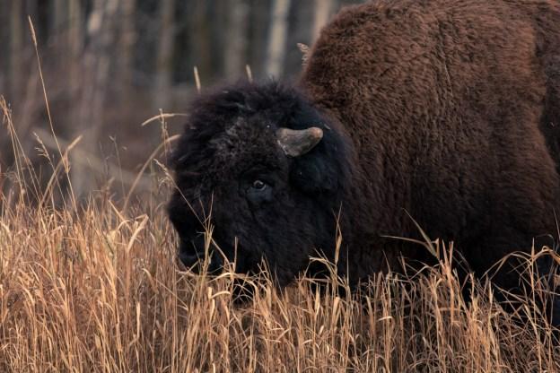 Plains bison bull (bison bison bison) walking through the tall, dry grasslands during a late autumn morning at Elk Island National Park. Alberta wildlife environmental portrait.